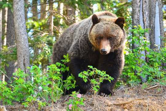 How Alberta Grizzly Bears Will Feel The Effects Of Climate Change