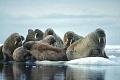 Försvinnande Sea Ice förändrar hela ekosystemet i Arktis