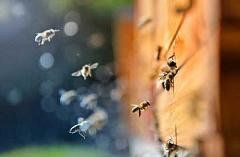 Wie urbane Imker helfen können, wilde Bienen zu retten