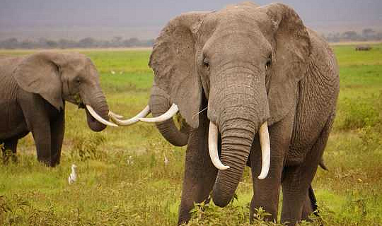 Как у слонов развился такой большой мозг? Изменение климата является частью ответа