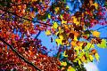 Por qué el cambio climático apagará las exhibiciones de hojas de otoño