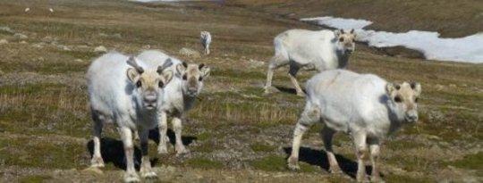 ارتفاع درجات الحرارة التي لها العديد من الآثار السلبية في منطقة القطب الشمالي ليست مشكلة لسلالات الرنة النرويجية التي زاد عدد سكانها بنسبة ملحوظة 30 ٪ في العام الماضي. سيكون هناك رابحون وخاسرون مع تكثيف التغير المناخي ، ويقول العلماء إنهم عثروا على نوع واحد فقط يزدهر بالفعل.