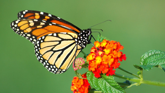 Warum Monarch Schmetterlinge brauchen eine helfende Hand