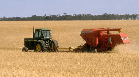 Wheat and other cereal crops in developed countries such as Australia have been decimated. Image: CSIRO via Wikimedia Commons