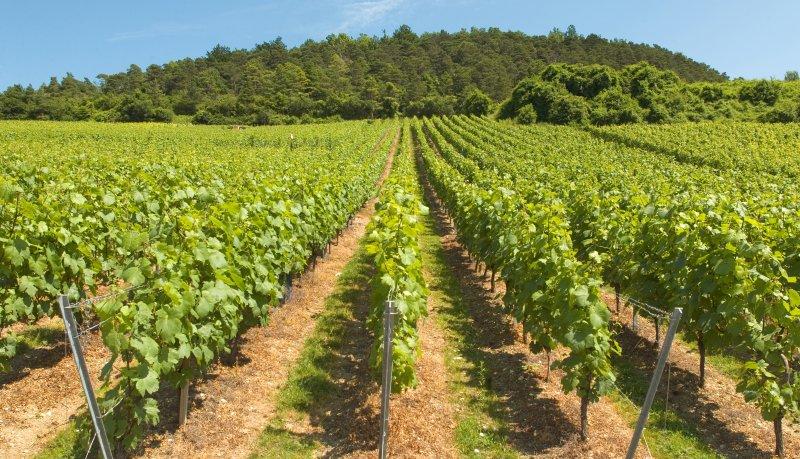 シャンパーニュを涼しく保つためのブドウ畑の戦い