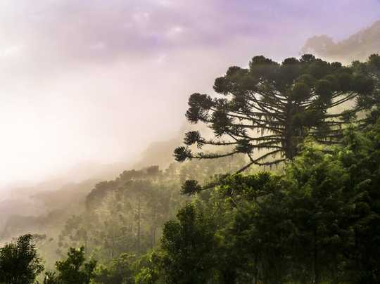 Climate Breakdown Is Pushing Brazil's Iconic Araucaria Tree To Extinction