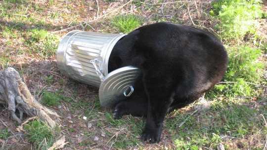 Schwarze Bären passen sich dem Leben in der Nähe von Menschen an, indem sie das Mitternachtsöl verbrennen