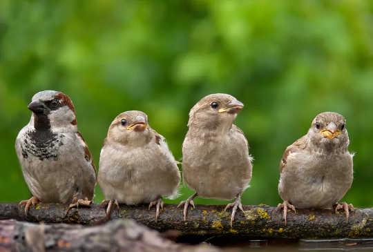 麻雀– 50年前在英國花園中較常見。