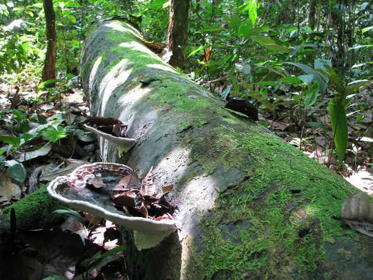 ต้นไม้ที่ตายแล้วเช่นเดียวกับในเปรูนี้จะปล่อยคาร์บอนกลับคืนสู่ชั้นบรรยากาศเมื่อพวกมันเน่าสลายไป