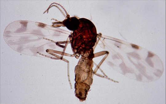 Culicoides imicola, tatarcık