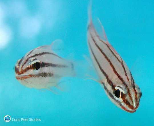 Saya Mengkaji Apa Yang Terjadi Pada Ikan Terumbu Selepas Pemutihan Karang. Apa yang Saya Melihat Masih Membuat Saya Mual