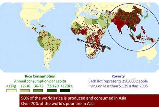 Le changement climatique rendra le riz moins nutritif, mettant en danger des millions de pauvres dans le monde