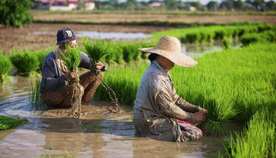 Even Rice Bred For Heat Loses Yields At High Temps