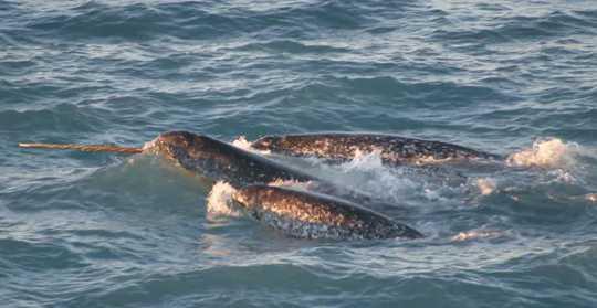 Un groupe de narvals, avec une défense exposée, nageant ensemble.