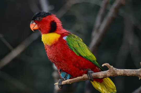 Red green and yellow parrot on a branch.