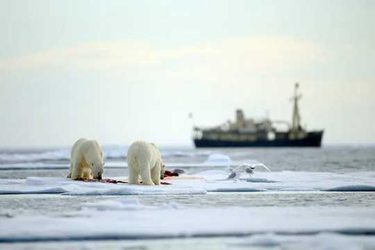 Deux ours polaires mangent un phoque sur la glace de mer avec un navire en arrière-plan.