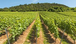 Weinberge kämpfen, um den Champagner kühl zu halten
