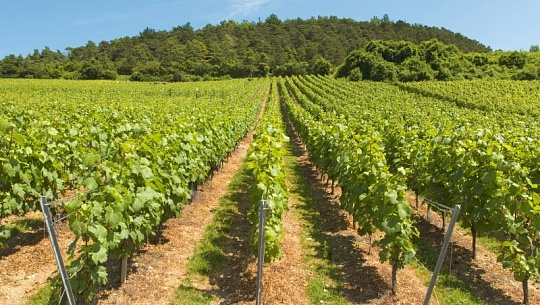 Vineyards Battle To Keep The Champagne Cool