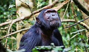 Триває культурний крах шимпанзе, і його рухають люди