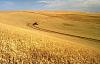 الجفاف قد يصيب نصف القمح العالمي دفعة واحدة