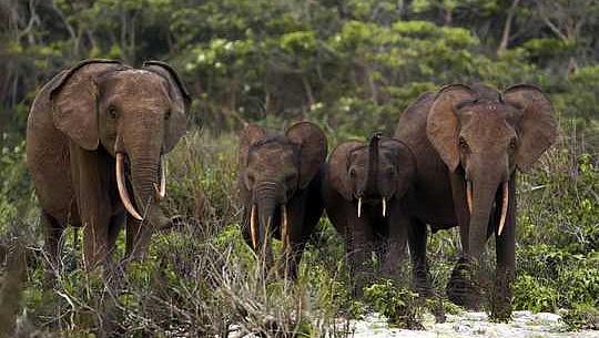 موسمیاتی تبدیلی کے خلاف جنگ میں جنگلی ہاتھی ہمارے اتحادی ہیں