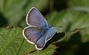 Néhány pillangó és lepke nem képes alkalmazkodni a változó éghajlathoz