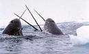 Arktisen meren jäähäviö avaa merinisäkkäät tappavalle virukselle