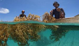 Zeewierkwekerij zou echt kunnen helpen de klimaatverandering te bestrijden