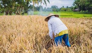 La culture du riz produit des tonnes de paille excédentaire - Pouvons-nous la transformer en bioénergie?