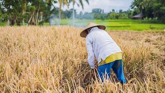 稲作は過剰なわらを大量に生産します–バイオエネルギーに変えることができますか?