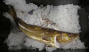 Die opwarming van die see het visserye aan die gang, wat sommige mense help om meer te belemmer