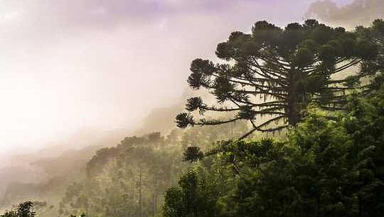 Klimatuppdelningen skjuter Brasiliens ikoniska Araucaria-träd till utrotning