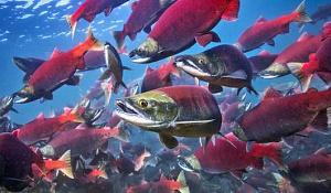 紅鮭は1年早く家を出ます