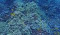يهدد احترار المحيط الشعاب المرجانية وقريبًا يمكن أن يجعل من الصعب استعادتها