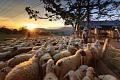 Bagaimana Perubahan Iklim, Migrasi, dan Penyakit Mematikan Pada Domba Mengubah Pemahaman Kita Tentang Pandemi?