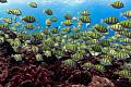 산호초가 죽기 전에도 열대 암초 물고기에 대한 해양 열파의 철자 문제