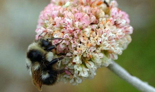 Yeni Çalışma, Bombus Arılarının Hızlı Düşüşüne Neden Olan İklim Kaosunu Uyarıyor