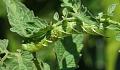 Gewassen kunnen worden geconfronteerd met dubbele problemen door insecten en een warm klimaat