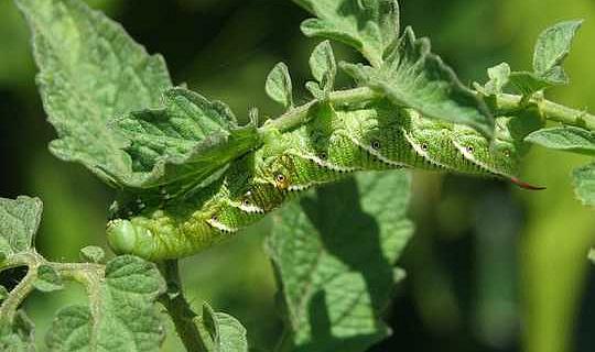 Pflanzen könnten doppelten Problemen durch Insekten und einem sich erwärmenden Klima ausgesetzt sein
