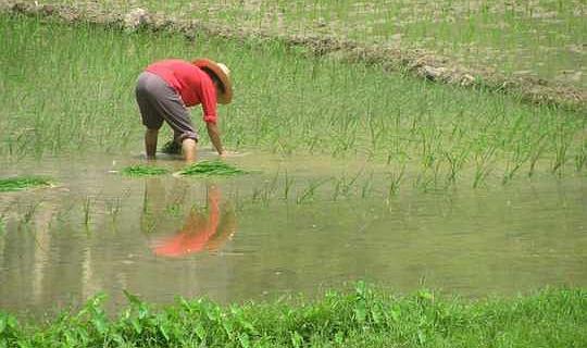 İklim Değişikliği, Pilavın Daha Az Besleyici Olmasını Sağlayarak Dünyadaki Milyonlarca Yoksul'u Risk Altına Taşıyor