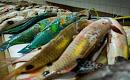 熱帯魚としての飢ungの脅威は、より冷たい水を求めます