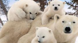 Beren betalen de ultieme prijs van Arctic Ice Melt. Are We Next?
