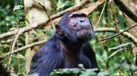 एक चिंपांज़ी सांस्कृतिक पतन चल रहा है, और यह मनुष्यों द्वारा संचालित है