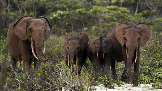 Forest Elephants Are Our Allies In The Fight Against Climate Change