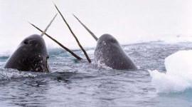 Arktisk havis-tab åbner havpattedyr for dødbringende virus