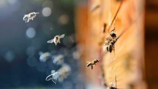 چگونه نگهبانان زنبور عسل می توانند به ذخیره کردن زنبور عسل کمک کنند