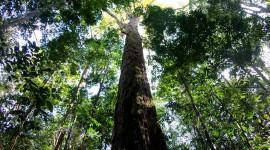 Le plus grand arbre d'Amazone vient de recevoir 50% Taller - et les scientifiques ne savent pas comment
