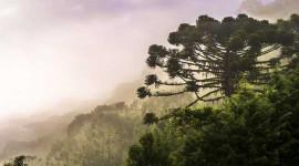 Klimaatverandering drijft de iconische Araucaria-boom van Brazilië tot uitsterven