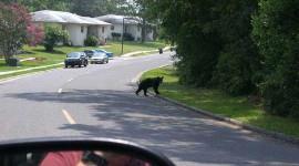 تتكيف الدببة السوداء مع الحياة بالقرب من البشر بحرق زيت منتصف الليل
