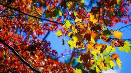 Why Climate Change Will Dull Autumn Leaf Displays